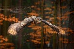 Eurasier Eagle Owl, Bubo Bubo, mit offenen Fl?geln im Flug, Waldlebensraum im Hintergrund, orange Herbstb?ume Szene der wild lebe lizenzfreie stockfotografie