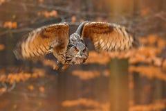 Eurasier Eagle Owl, Bubo Bubo, mit offenen Fl?geln im Flug, Waldlebensraum im Hintergrund, orange Herbstb?ume Szene der wild lebe stockfoto