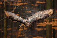 Eurasier Eagle Owl, Bubo Bubo, mit offenen Fl?geln im Flug, Waldlebensraum im Hintergrund, orange Herbstb?ume Szene der wild lebe lizenzfreies stockbild