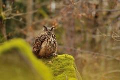 Eurasier Eagle Owl, der auf Felsen mit Moos steht Stockfotografie