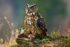 Eurasier Eagle Owl, der auf Stein mit Tötungsbraun Marder während des orange Herbstes sitzt Schönes Eagle mit Tötung Eagle Owl im Stockbild