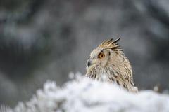 Eurasier Eagle Owl, der aus den Grund mit Schnee in der Winterzeit sitzt Stockfoto