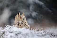 Eurasier Eagle Owl, der aus den Grund mit Schnee in der Winterzeit sitzt Stockfotos