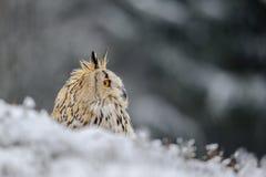 Eurasier Eagle Owl, der aus den Grund mit Schnee in der Winterzeit sitzt Lizenzfreie Stockfotografie