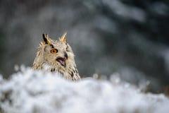 Eurasier Eagle Owl, der aus den Grund mit Schnee und Ruf sitzt Stockfotografie