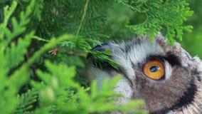 Eurasier Eagle Owl, der Blätter isst stock video