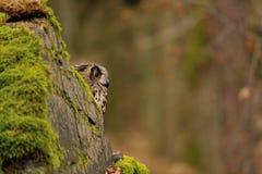 Eurasier Eagle Owl hinter Felsen Lizenzfreies Stockbild