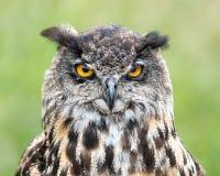 Eurasier Eagle Owl II Lizenzfreie Stockfotografie