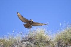 Eurasier Eagle Owl im Flug Stockfotografie
