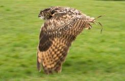 Eurasier Eagle Owl im Flug Lizenzfreie Stockbilder