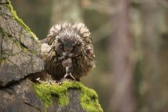 Eurasier Eagle Owl mit Opfer Lizenzfreie Stockfotos