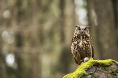 Eurasier Eagle Owl mit Opfer Stockbild