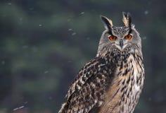Eurasier Eagle-Owl Portrait Stockfotos