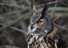 Eurasier Eagle Owl Sideview Lizenzfreies Stockfoto