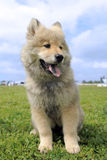 Eurasier puppy Royalty Free Stock Images
