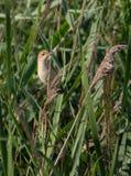 Eurasier Reedwarbler in einem Reedbed Stockbilder