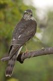Eurasier Sparrowhawk (Accipiter Nisus) Lizenzfreie Stockfotografie