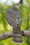 Eurasier Sparrowhawk (Accipiter Nisus) Stockbild
