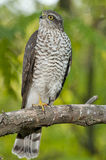 Eurasier Sparrowhawk (Accipiter Nisus) Stockbilder