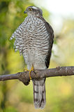 Eurasier Sparrowhawk (Accipiter Nisus) Stockfoto