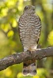 Eurasier Sparrowhawk (Accipiter Nisus) Stockfotografie