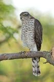 Eurasier Sparrowhawk (Accipiter Nisus) Lizenzfreies Stockfoto