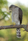 Eurasier Sparrowhawk (Accipiter Nisus) Lizenzfreies Stockbild