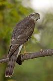 Eurasier Sparrowhawk (Accipiter Nisus) Lizenzfreie Stockfotos