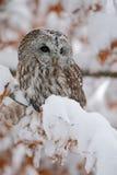 Eurasier Tawny Owl, der auf der orange Eichenniederlassung mit Schnee, Norwegen stationiert Stockfotos
