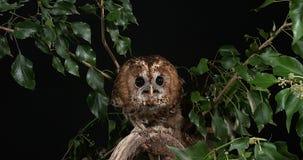 Eurasier Tawny Owl, Strix aluco, Erwachsener im Laub, Normandie, stock video footage