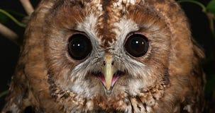 Eurasier Tawny Owl, Strix aluco, Porträt des Erwachsenen, Normandie, stock video footage
