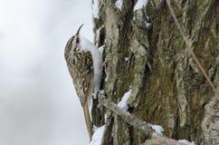 Eurasier Treecreeper Lizenzfreie Stockbilder