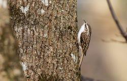 Eurasier Treecreeper Lizenzfreies Stockbild
