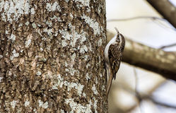 Eurasier Treecreeper Stockbilder