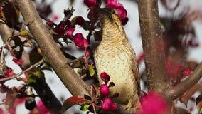 Eurasier Wryneck - Jynx torquilla, das auf der Niederlassung vor Blumenhintergrund sitzt stock video