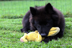 Eurasierhond met stuk speelgoed Royalty-vrije Stock Afbeelding