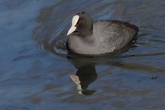 Eurasion coot. An eurasian coot reflected in blue water Stock Photos