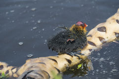 Eurasion coot chick Stock Image