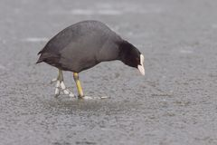 Eurasion coot on ice 2 Stock Photos