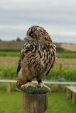 Eurasion eagle owl. Stock Photography