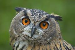Eurasion eagle owl Royalty Free Stock Photos