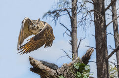 Eurasion Eagle Owl In Flight Lizenzfreies Stockbild