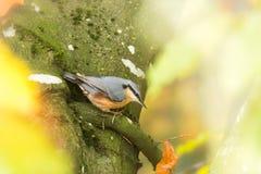 Eurasion nuthatch bird on tree Royalty Free Stock Photos