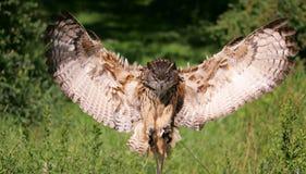 Eurasische Adler-Eule Stockbild