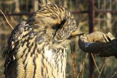 Eurasische Adler-Eule. Lizenzfreie Stockbilder