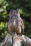 Eurasische Adler-Eule Stockfotos