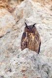 Eurasische Adler-Eule Stockbilder