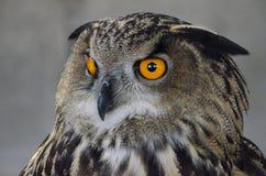 Eurasische Adler-Eule Lizenzfreie Stockfotografie