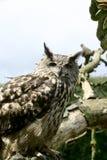 Eurasische Adler-Eule Lizenzfreie Stockfotos