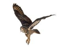 Eurasische Adler-Eule, Bubo Bubo, 15 Jahre alt Stockfotografie